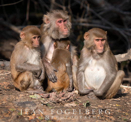 Pink Faced Monkeys at Bharatpur Bird Sanctuary