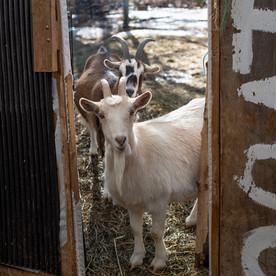 goatsindoor.jpg