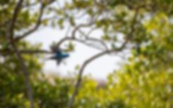 KingfisherFlying.jpg
