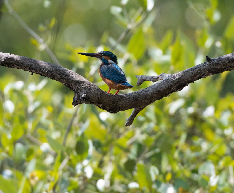 KingfisherOnBranch.jpg