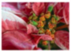 pcfpoinsettia.jpg