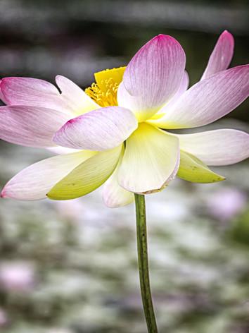 Lotus Flower (1 of 1)