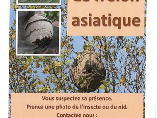 Campagne contre le frelon asiatique
