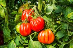 עגבניות ממבחר זנים