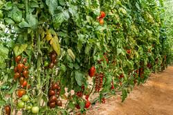 16 זנים של עגבניות שרי