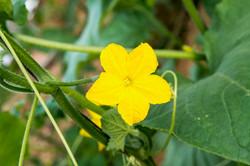 פרח מלפפון