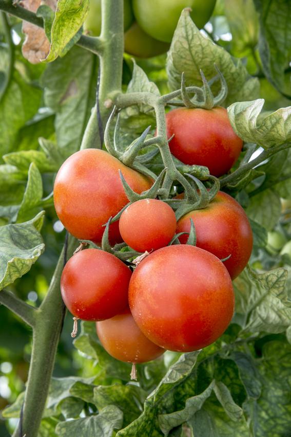 עגבניות שרי בקטיף עצמי