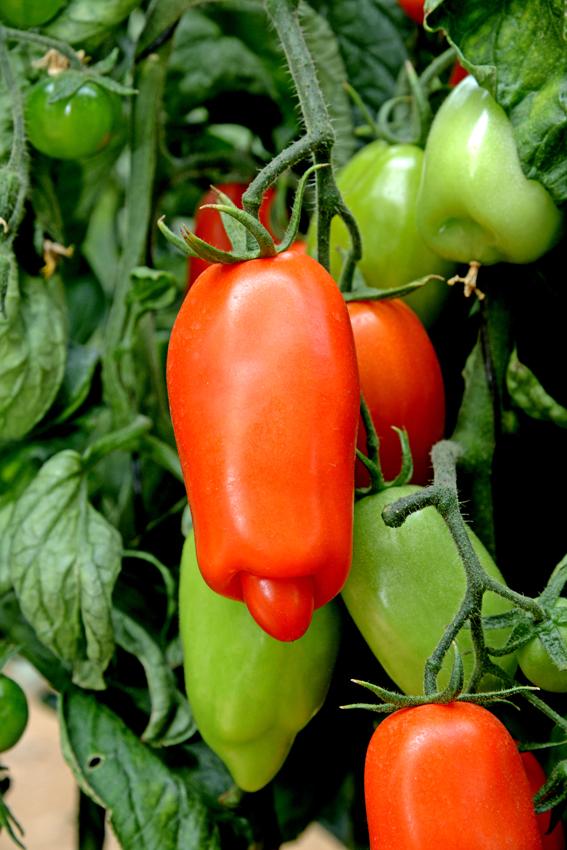 עגבניה זכרית