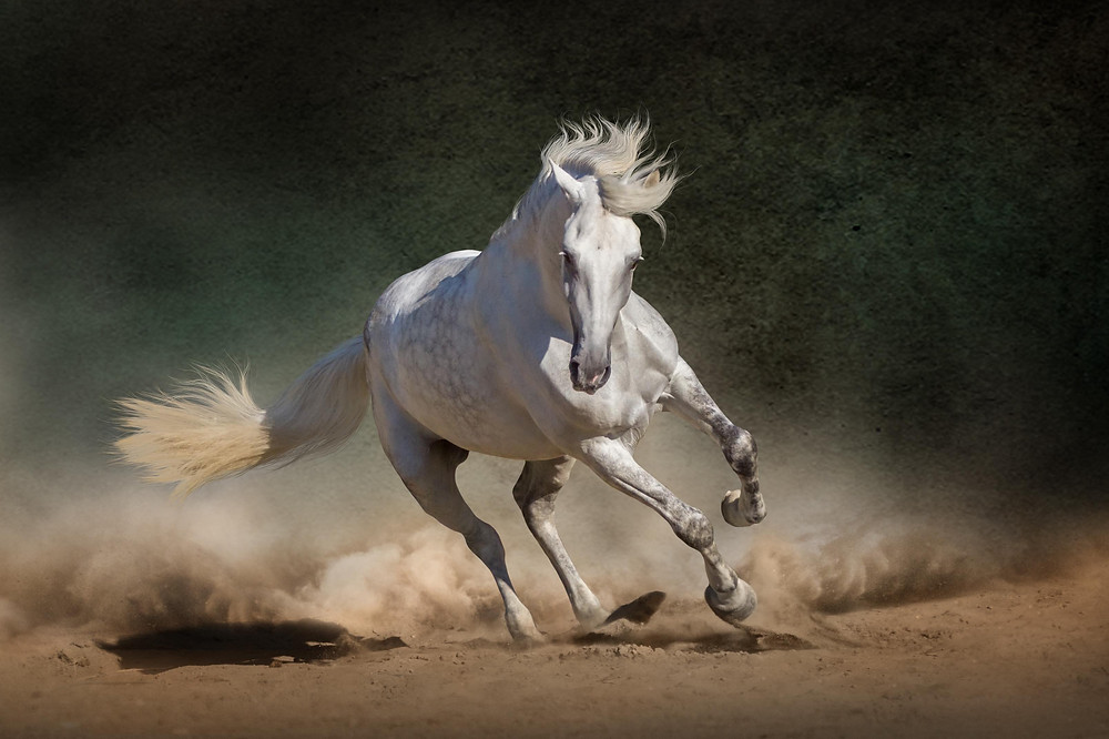 white horse galloping in dusty field