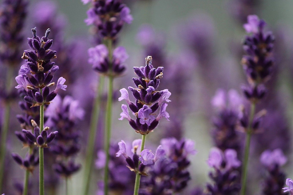 lavender-3479492_1280.jpg
