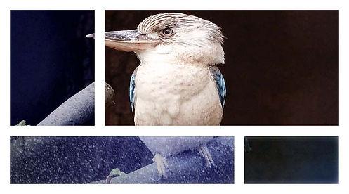 Kookaburra final.jpg