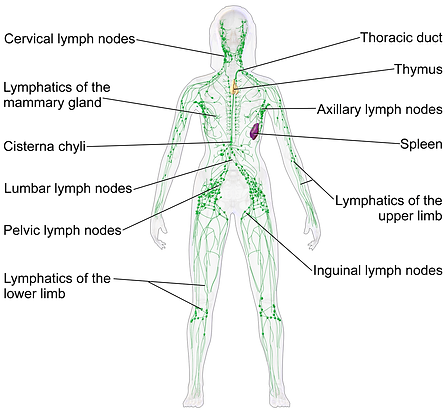 Blausen_0623_LymphaticSystem_Female.png