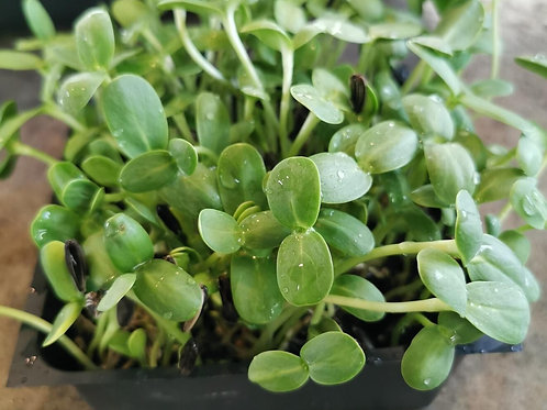 Vitamin C Mix Microgreen Refill Kit--Seeds Only