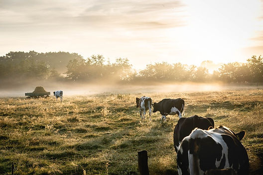 cows in field.jpeg