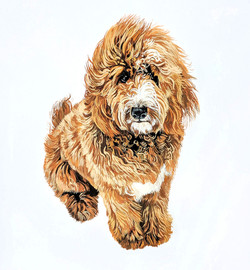 Harvey the Goldendoodle
