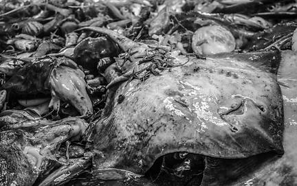 Fish Manta Ray Bycatch.png