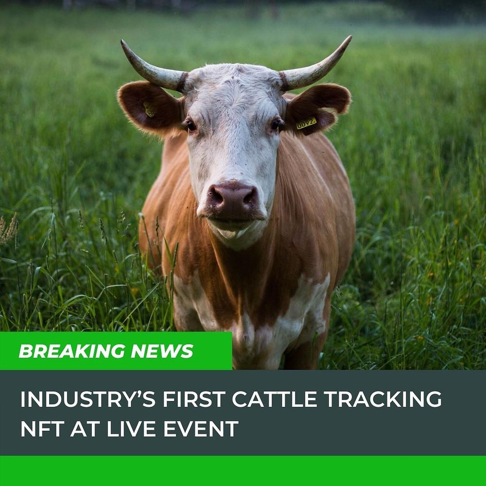 Image of steer in a field