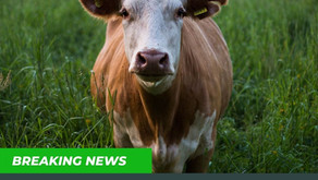 Live Event Tracking Cattle as Verified Digital Assets