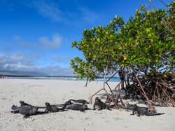 Erika_Tortuga Bay_iguanas