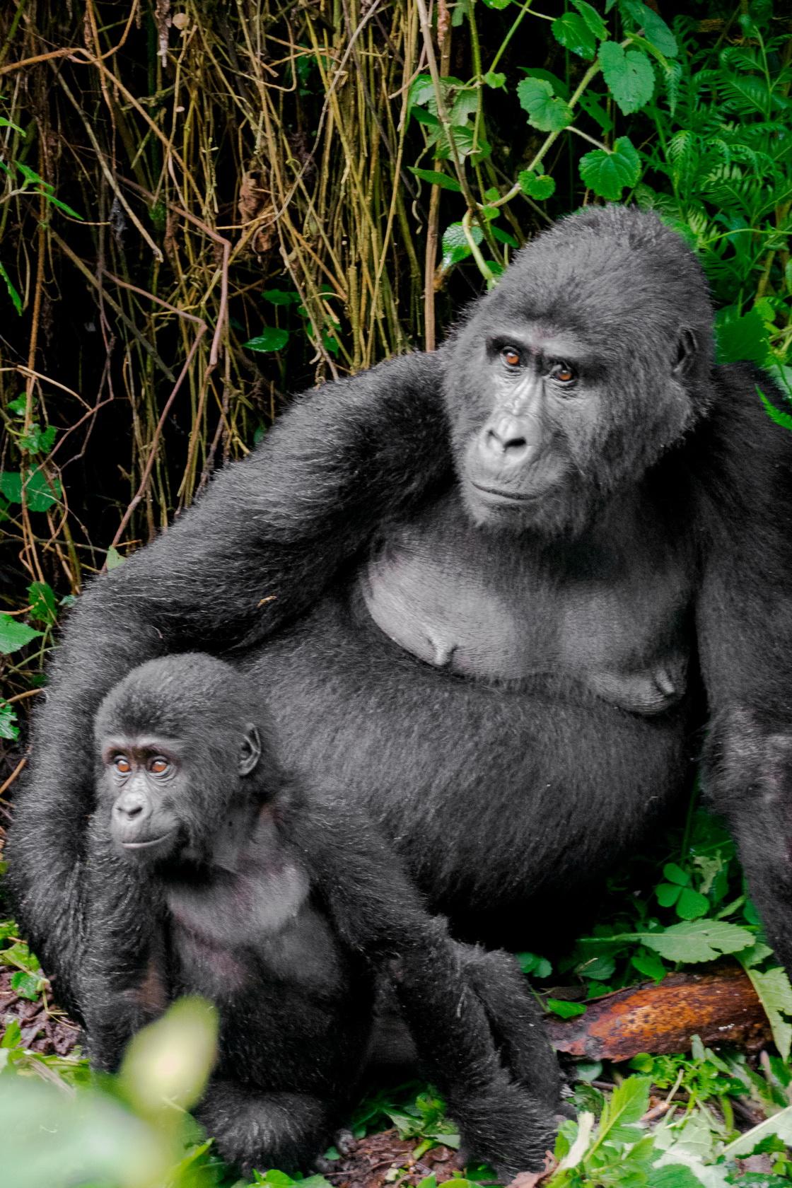 Gorilla Uganda Bwindi 3
