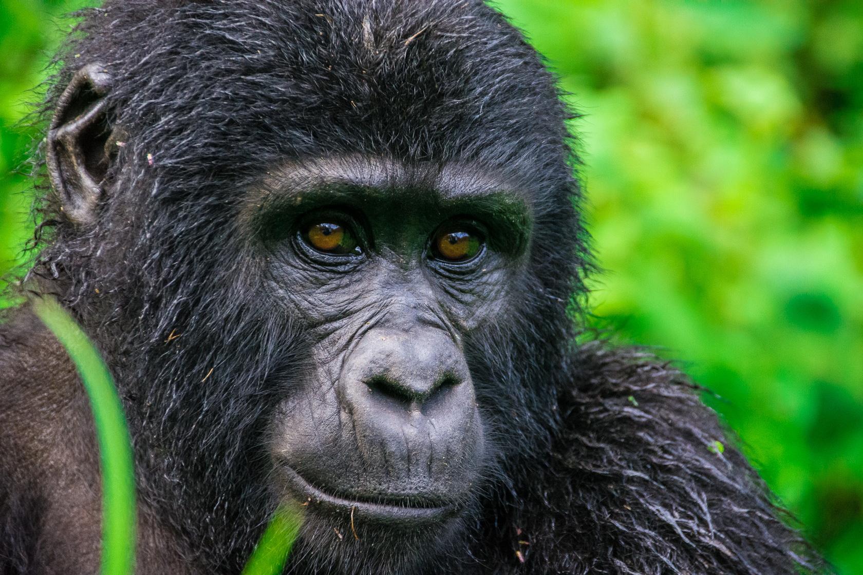 Gorilla Bwindi1