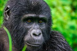 Gorilla Uganda Bwindi 1
