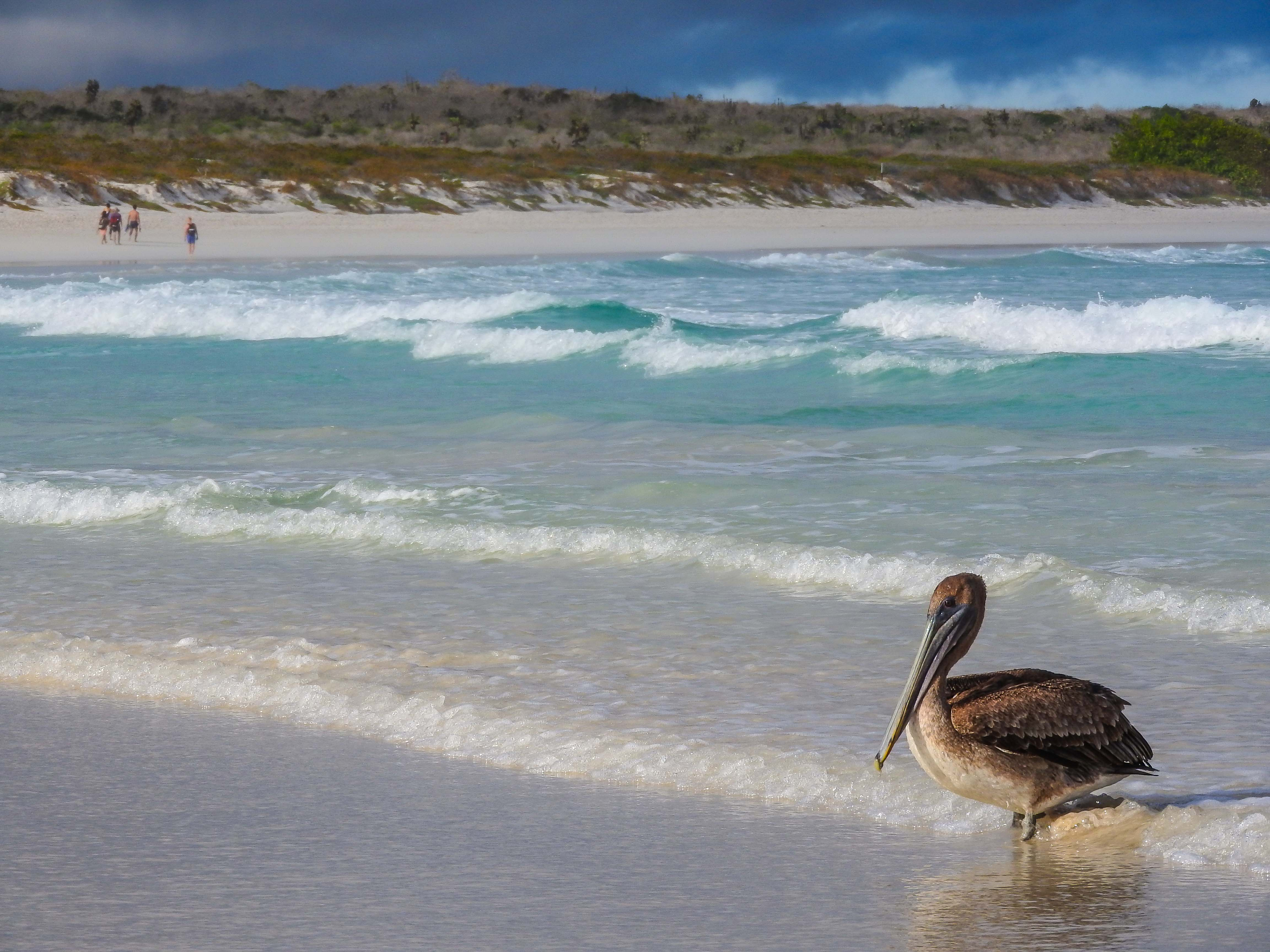 Erika_Tortuga Bay_pelicano