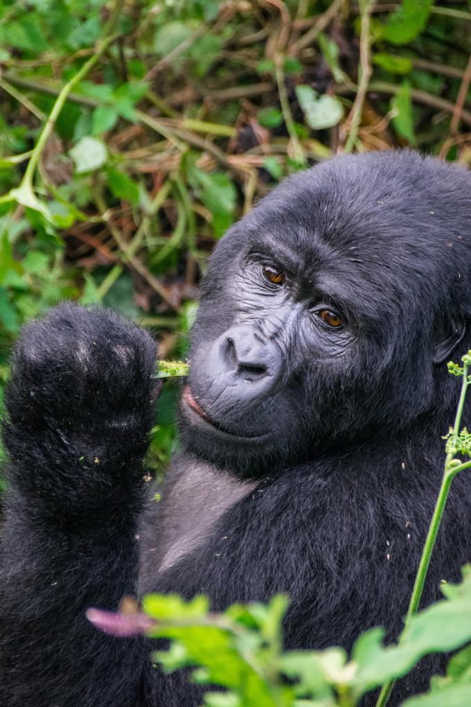 Gorillas tracking and trekking