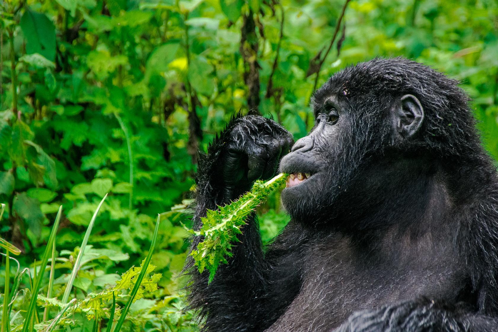 Gorilla Uganda Bwindi 4