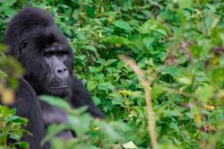 Gorilla Uganda Bwindi 2 silverback
