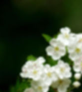 www.easyvn.net--40-nice-white-flowers-wallpapers--028.jpg
