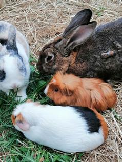 lapins cochons d'inde zoothérapie atelie