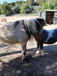 Poneys grooming grattage mutuel éthologi