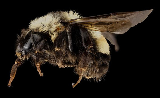 Keep Bees Buzzing-The Rusty Patched Bumblebee!