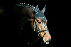 English horse for banner
