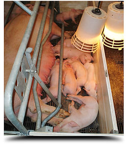 img-livestock-hogs (1).jpg