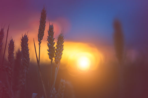 graphicstock-silhouette-of-wheat-ears-in