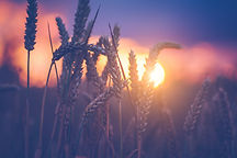 graphicstock-wheat-ears-in-evening-sunse