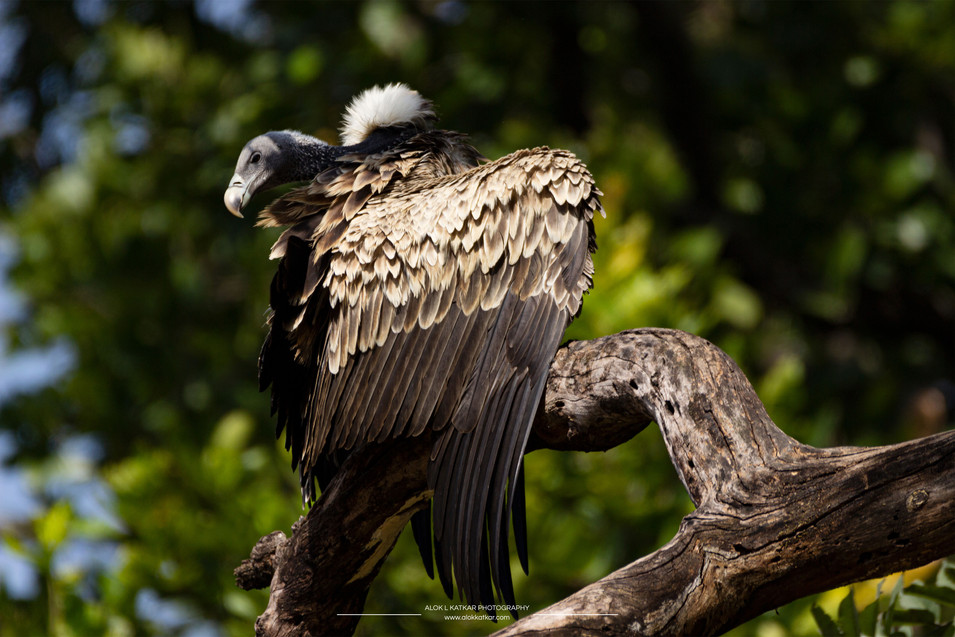 Indian vulture (Gyps indicus)