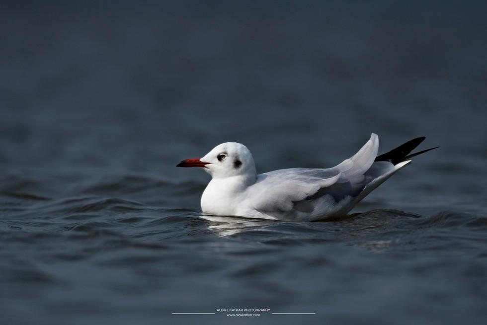 Brown-headed gull (Chroicocephalus brunnicephalus)