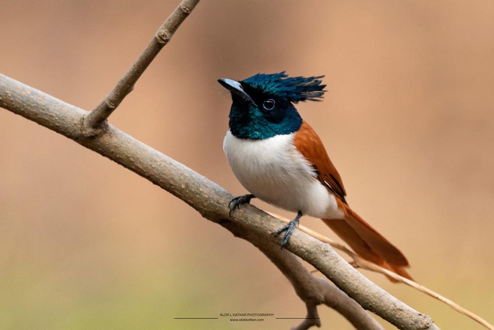 Indian paradise flycatcher (Terpsiphone paradisi)