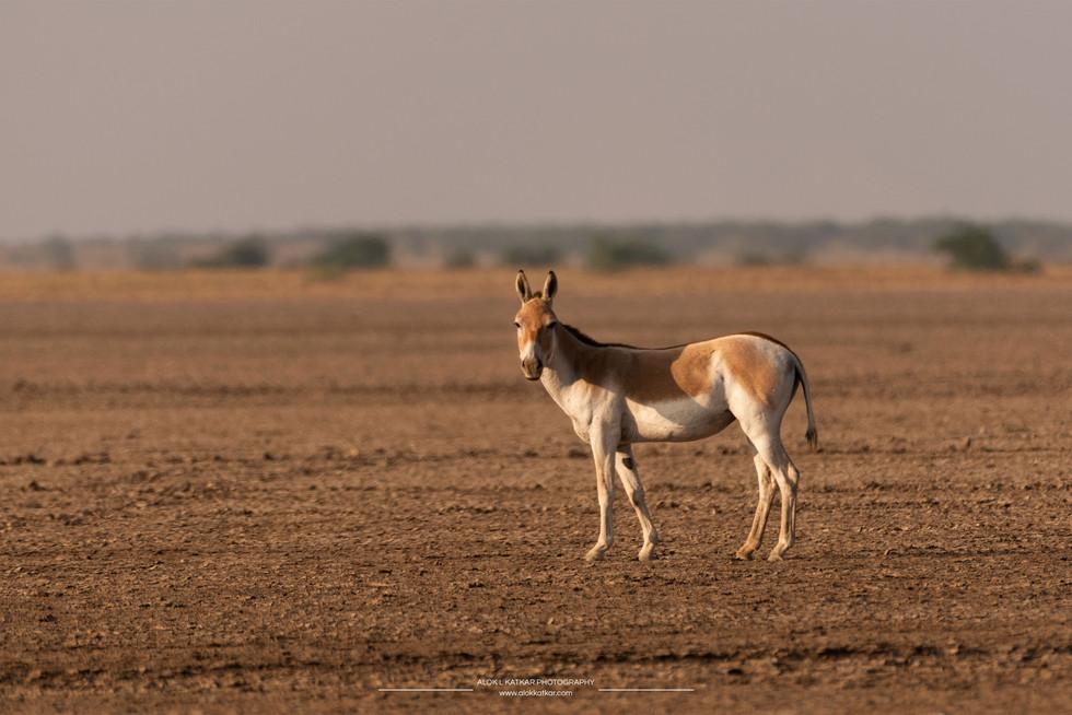 Indian wild ass (Equus hemionus khur)