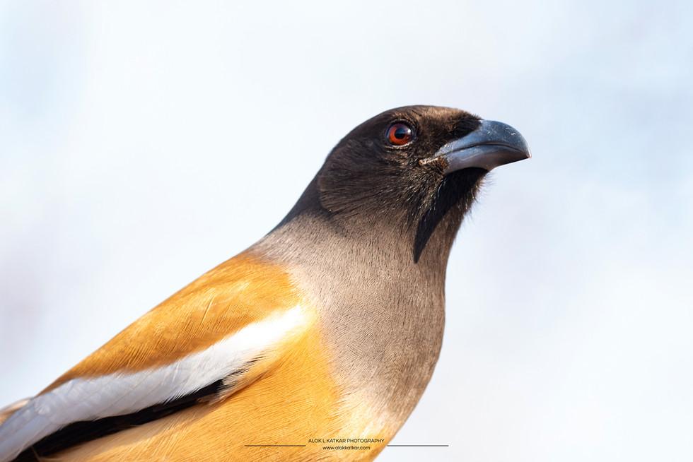 Rufous treepie (Dendrocitta vagabunda)