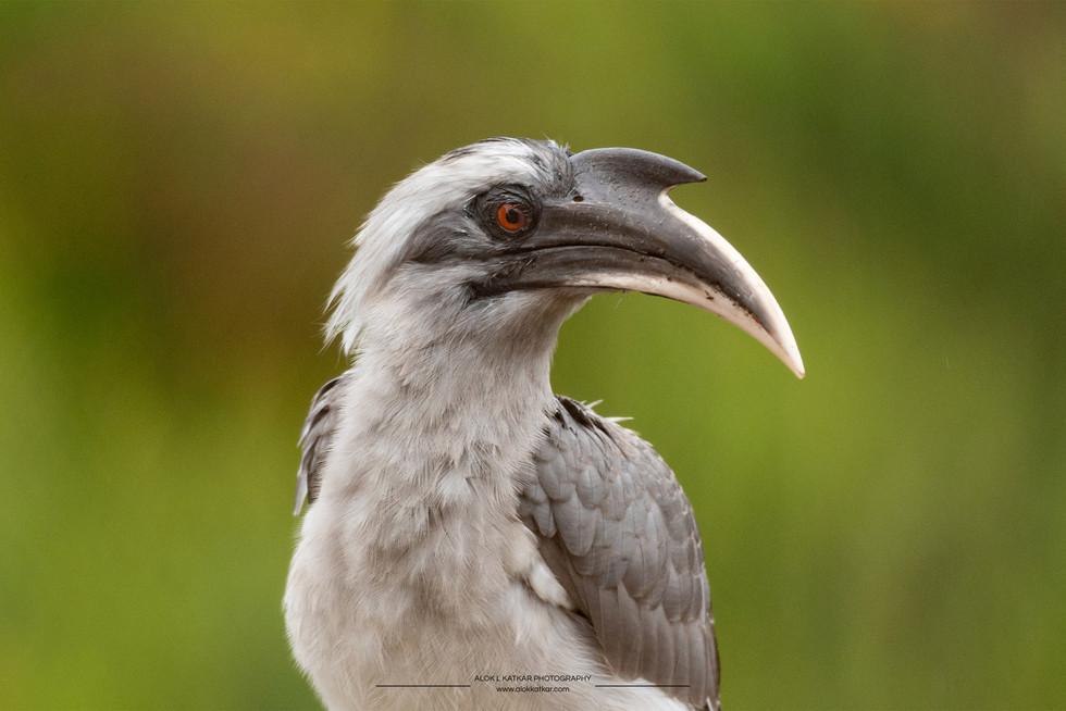 Indian grey hornbill (Ocyceros birostris)