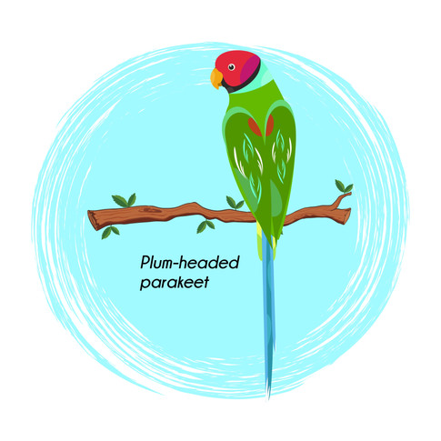 Plum-headed parakeet
