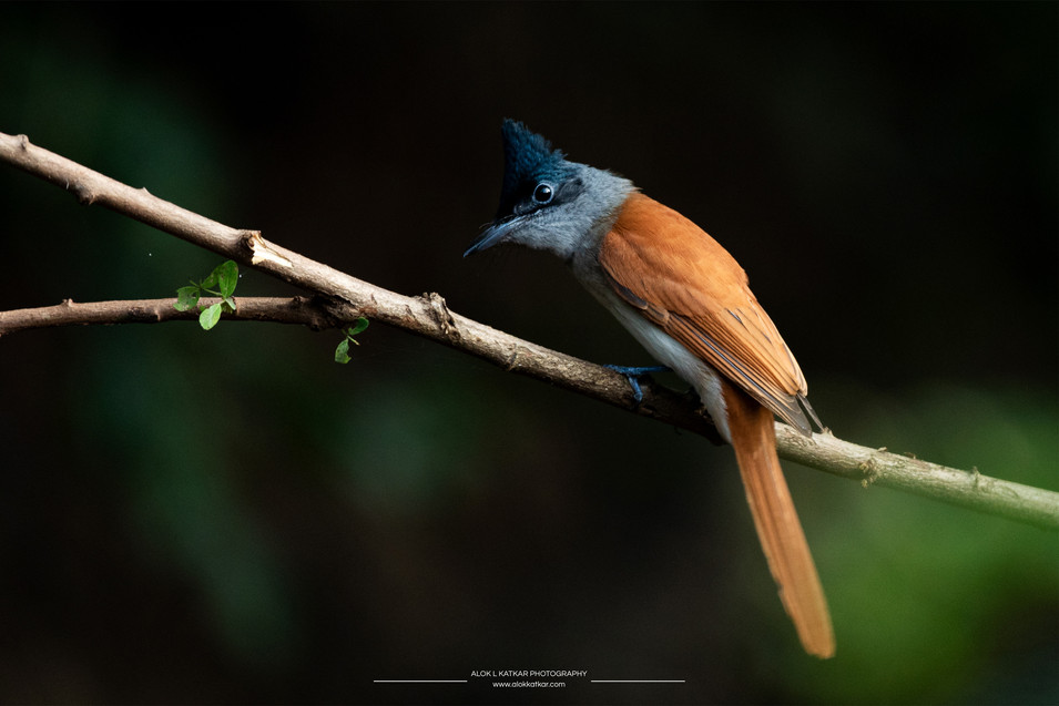 Indian paradise flycatcher (Terpsiphone paradisi)