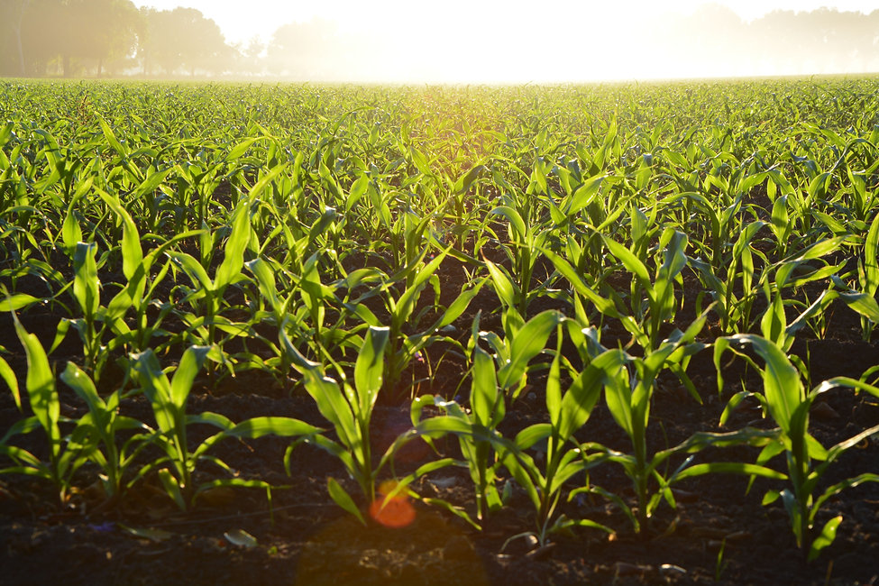 agriculture-corn-cropland-96715.jpg