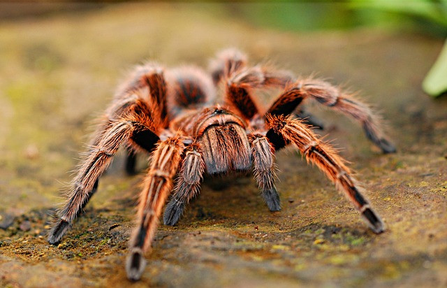 A picture of a tarantula