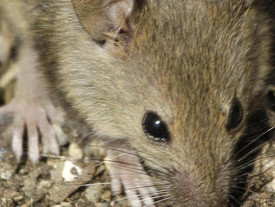 There's a mouse plague happening in Australia right now