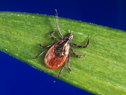 Pentagon Ordered to Tell Congress If It Weaponized Ticks And Released Them Into the Public